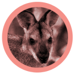 rond_wallabies-150x150